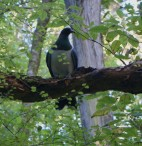Kereru at Craigieburn